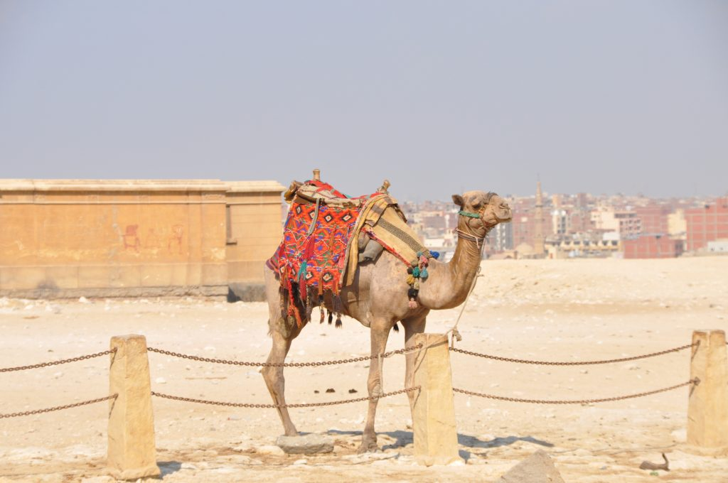Kamel neben den Pyramiden von Giza